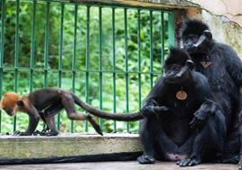 我國人工飼養繁殖的第八代黑葉猴成功存活