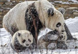 四川汶川:熊猫雪地嬉戏 享受降温乐趣