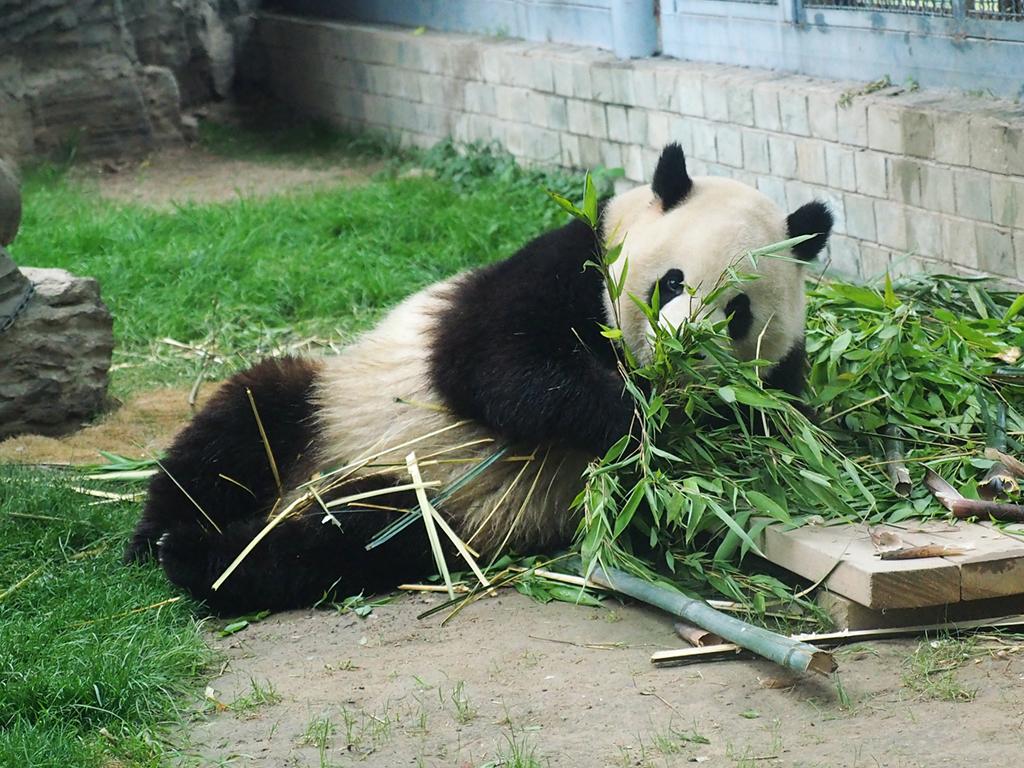 """大熊猫吃竹笋过端午 """"萌翻""""游客"""