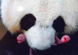 """中国旅法大熊猫""""欢欢""""产下双胞胎"""